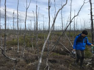 Standing dead black spruce trees in a burned area near Delta Junction, Alaska. On the right, Richard Chen, a graduate student at University of Southern California, was digging soil sampling pits throughout the burned area to sample for organic carbon content of the soil, measure the depth-to-permafrost, and to make electronic measurements of soil moisture for NASA's ABoVE campaign.